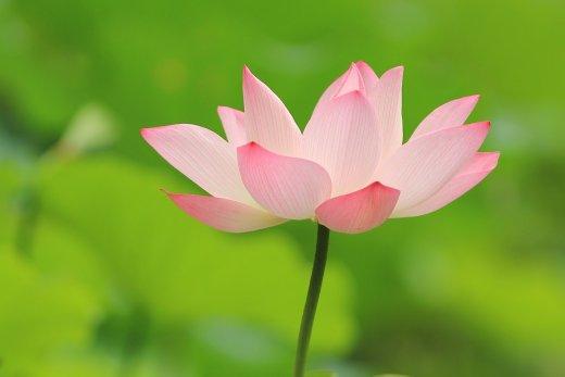 lotus-521412_1280.jpg?itok=GziCU54K&width=250