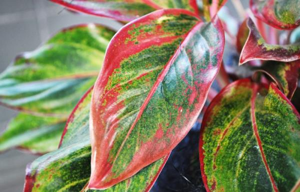 Aglaonema-Chinese-Evergreen-2