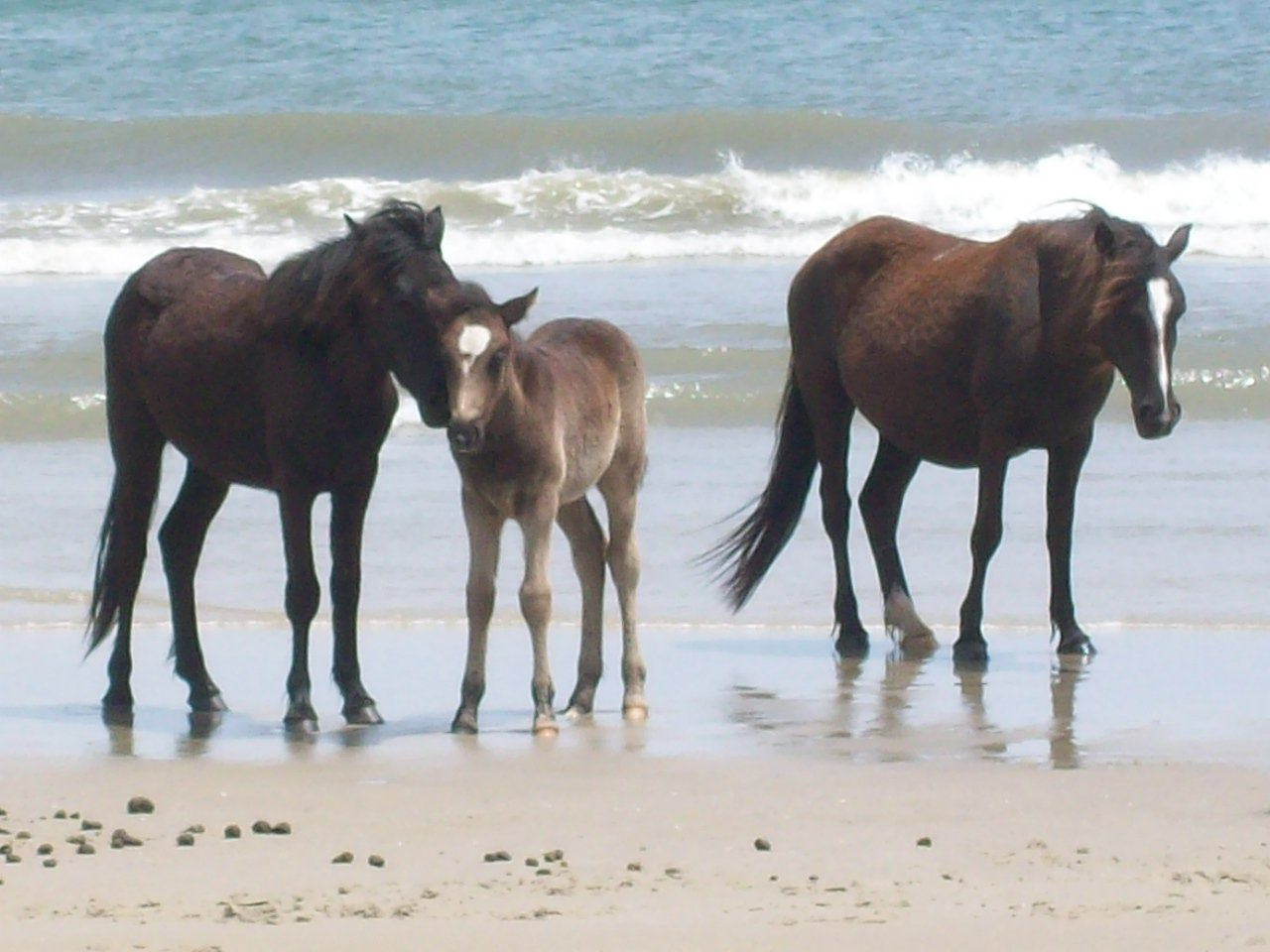 Wild Horses Of Corolla Beach North Carolina